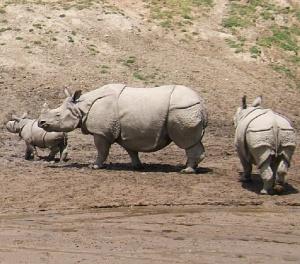 Indian_Rhinoceros_wikipedia